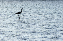 Siluetta del egret. Immagine Stock Libera da Diritti