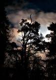 Siluetta del evergreen fotografia stock libera da diritti