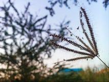 Siluetta del fiore dell'erba Immagine Stock