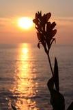 Siluetta del fiore di Canna al tramonto Immagini Stock Libere da Diritti