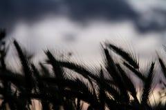 Siluetta del giacimento di grano fotografia stock libera da diritti