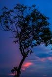 Siluetta del nero dell'albero di tramonto di sera della foto. Fotografia Stock Libera da Diritti