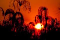 Siluetta del papiro al tramonto Immagine Stock