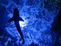 Siluetta del pesce Fotografia Stock Libera da Diritti