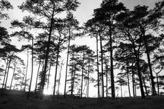 Siluetta del pino Immagine Stock