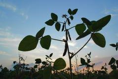 Siluetta del primo piano del pisello della pianta contro il cielo Fotografia Stock Libera da Diritti
