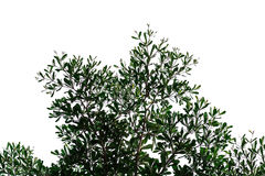 Siluetta del ramo di albero su un fondo bianco Fotografia Stock Libera da Diritti