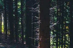 Siluetta del tronco di albero Fotografia Stock