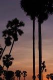 Siluetta dell'agricoltore che scala sull'albero della palma da zucchero Fotografia Stock