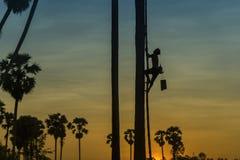 Siluetta dell'agricoltore che scala sull'albero della palma da zucchero alla raccolta dello sciroppo di zucchero Immagini Stock Libere da Diritti