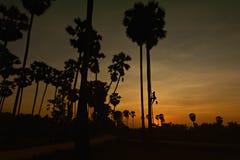 Siluetta dell'agricoltore che scala sull'albero della palma da zucchero alla raccolta dello sciroppo di zucchero Immagine Stock