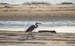 Siluetta dell'airone di grande blu sulla spiaggia, Hilton Head Island immagine stock