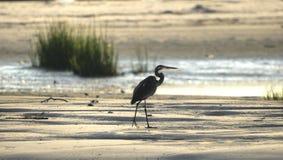 Siluetta dell'airone di grande blu sulla spiaggia, Hilton Head Island immagini stock