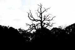 Siluetta dell'albero asciutto nel parco di fondo bianco immagini stock libere da diritti