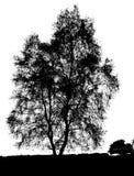 Siluetta dell'albero di betulla isolata Fotografia Stock