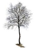 Siluetta dell'albero di betulla isolata fotografia stock libera da diritti