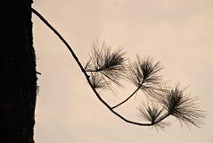Siluetta dell'albero di pino Immagine Stock Libera da Diritti