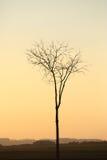 Siluetta dell'albero nel tramonto dorato Fotografia Stock Libera da Diritti