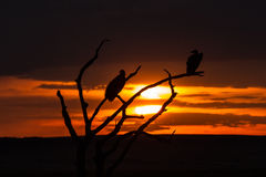 Siluetta dell'avvoltoio Immagine Stock Libera da Diritti