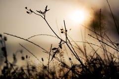 Siluetta dell'erba nel tramonto Fotografie Stock Libere da Diritti