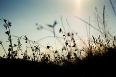 Siluetta dell'erba nel tramonto Immagini Stock