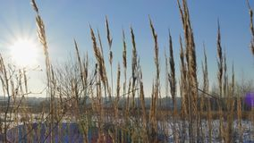 Siluetta dell'erba selvatica contro il cielo dorato di ora durante il tramonto video d archivio