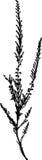 Siluetta dell'erica comune (Calluna vulgaris) Fotografie Stock