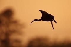 Siluetta dell'ibis dalla faccia bianca in volo al tramonto Fotografie Stock