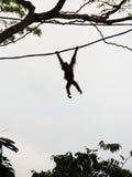 Siluetta dell'orangutan sulla vite Fotografie Stock Libere da Diritti