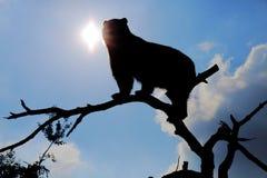 Siluetta dell'orso dagli occhiali Fotografia Stock