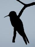 Siluetta dell'uccello di ronzio Fotografie Stock