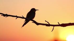 Siluetta dell'uccello su un cielo arancio archivi video