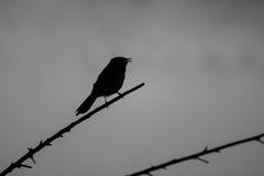 Siluetta dell'uccello sulla filiale Fotografia Stock