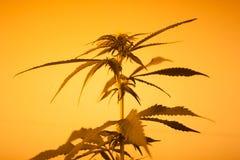 Siluetta della marijuana della luce gialla Fotografia Stock