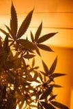 Siluetta della marijuana della luce gialla Immagine Stock