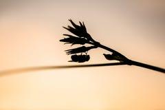 Siluetta della tenuta della mosca sulla foglia al tramonto, macro colpo Fotografia Stock Libera da Diritti