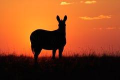 Siluetta della zebra Fotografie Stock