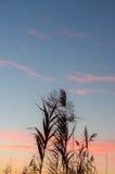 Siluetta delle canne al tramonto Immagine Stock Libera da Diritti