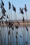 Siluetta delle canne in priorità alta con il lago nel fondo immagini stock libere da diritti
