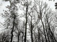 Siluetta delle cime d'albero di inverno Immagini Stock Libere da Diritti
