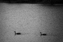 Siluetta delle oche in acqua Rebecca 36 immagine stock libera da diritti
