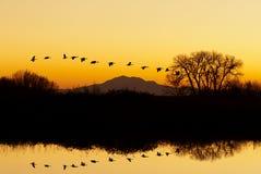 Siluetta delle oche che volano al tramonto Fotografie Stock Libere da Diritti