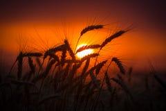 Siluetta delle orecchie del grano contro il tramonto Immagine Stock Libera da Diritti