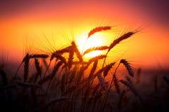 Siluetta delle orecchie del grano contro il tramonto Immagine Stock