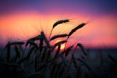 Siluetta delle orecchie del grano contro il tramonto Fotografia Stock