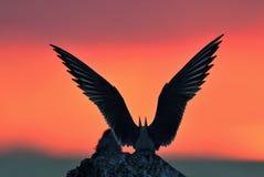 Siluetta delle sterne comuni (hirundo degli sterni) sul fondo rosso di tramonto Fotografia Stock Libera da Diritti