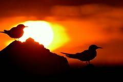 Siluetta delle sterne comuni (hirundo degli sterni) sul fondo rosso di tramonto Immagine Stock