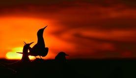 Siluetta delle sterne comuni (hirundo degli sterni) sul fondo rosso di tramonto Immagini Stock