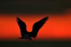 Siluetta delle sterne comuni (hirundo degli sterni) sul fondo rosso di tramonto Fotografia Stock