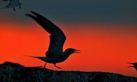 Siluetta delle sterne comuni (hirundo degli sterni) sul fondo rosso di tramonto Immagine Stock Libera da Diritti